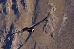 Dziki i niedostępny Kanion Colca