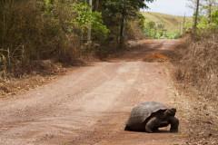 Żółwie z Galapagos