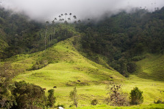 Dolina Palm i Mgły – Valle de Cocora